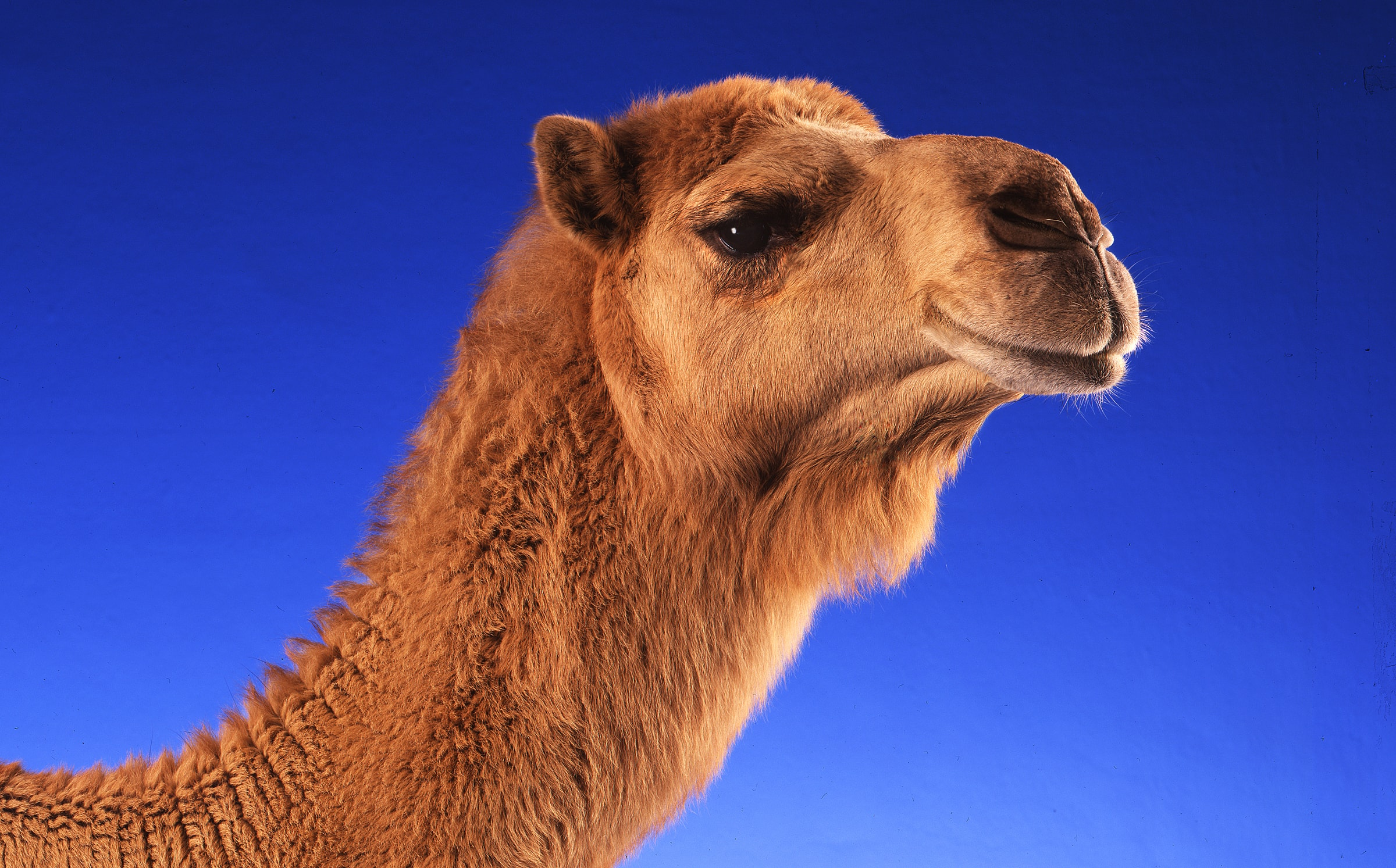 Camel by Paul Bussell