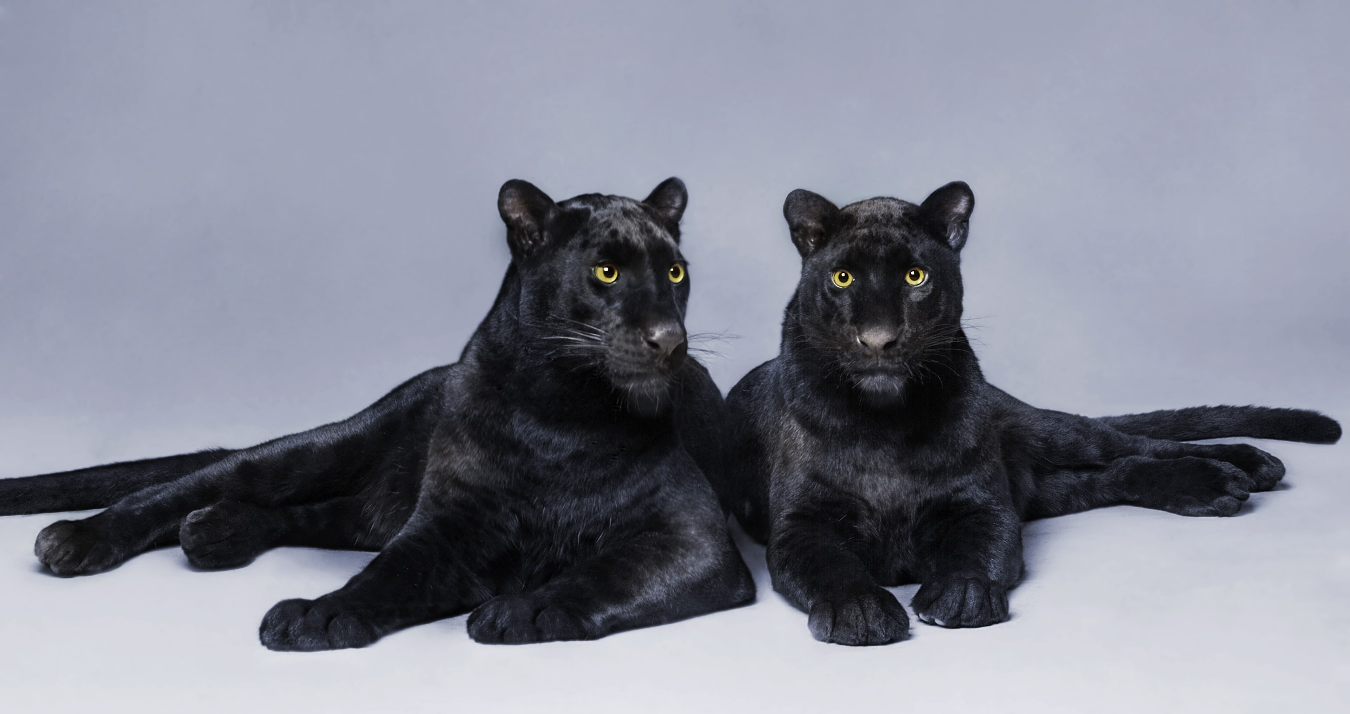 Two black panthers by Paul Bussell