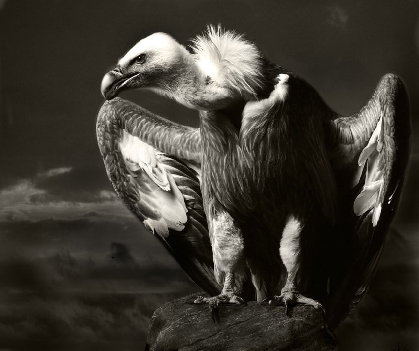 Vulture by Paul Bussell